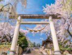 山形座 瀧波より、春の桜情報のご案内