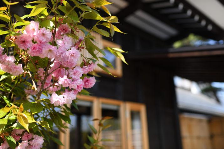 山形座瀧波で楽しむ桜旅のご案内※開花情報掲載